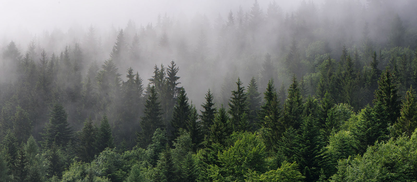 portland-relocation_0007_bigstock-Evergreen-Forest-Overview-To-955570521